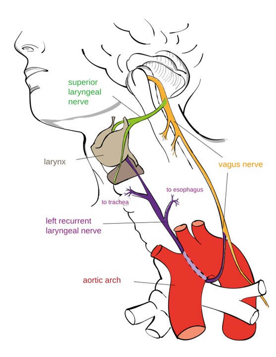 The Vagnus Nerve